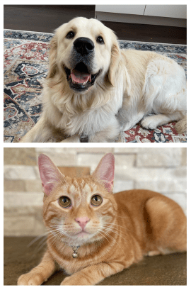 Allie's pets, a golden retriever dog and a tabby cat