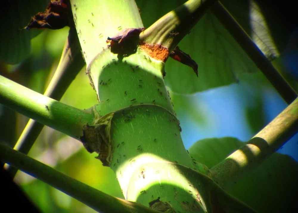 Fourmis au parc Manuel Antonio