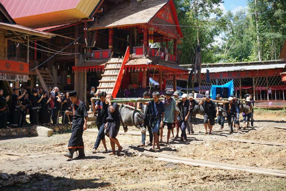 Rite funéraire dans le Toraja pendant lequel on apporte en offrande des porcs