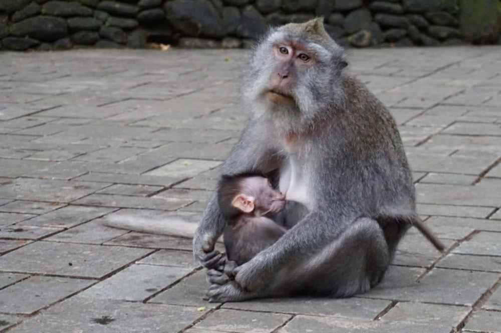 Une maman singe allaire son bébé dans la forêt des singes de Ubud, Bali