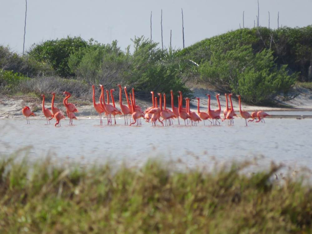 Flamands roses à Las Coloradas au Mexique