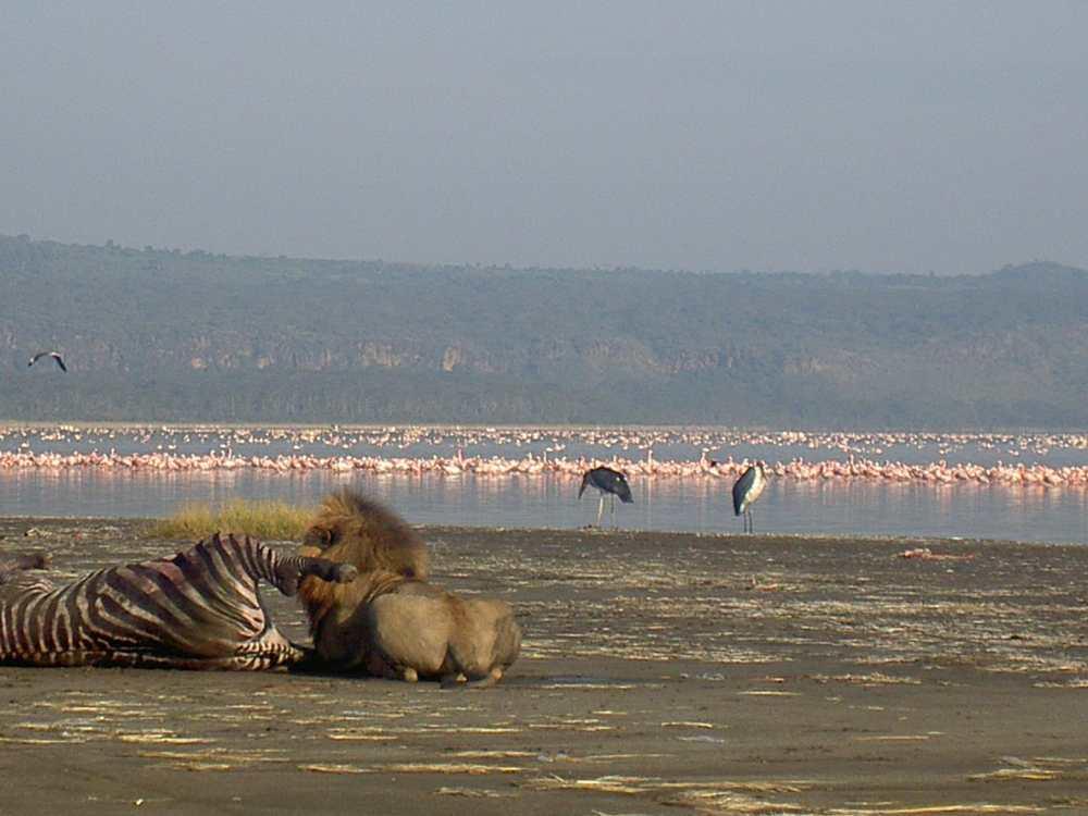 Un lien déguste sa proie, un zèbre, au bord d'un lac au Kenya