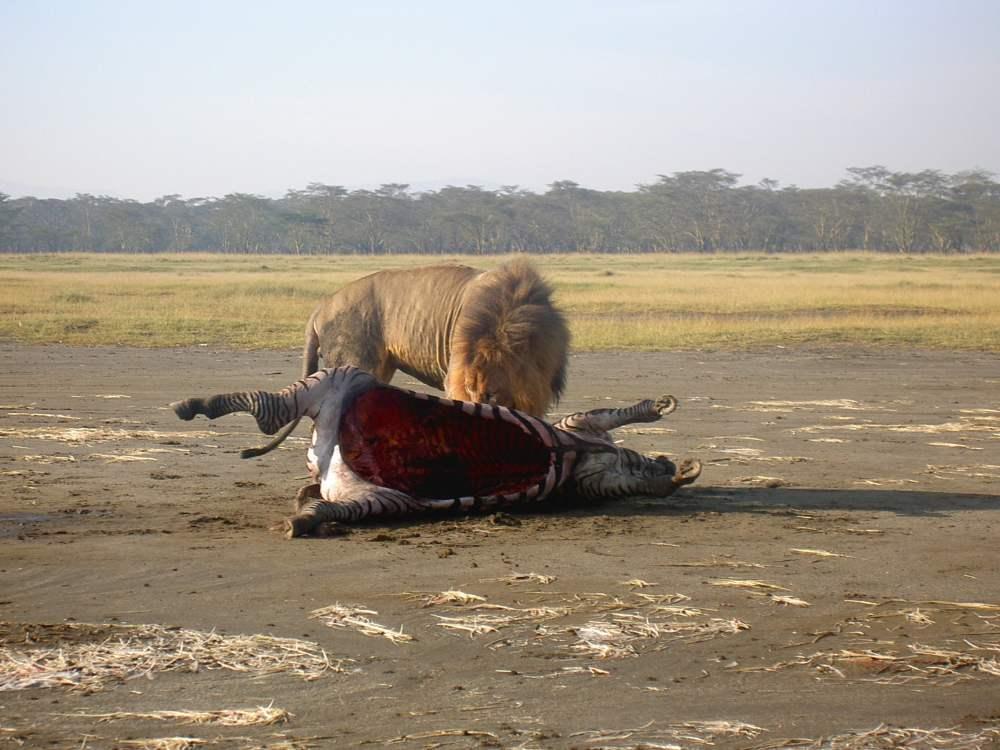 Un lion mange un zèbre chassé plus tôt au Kenya