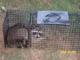 live animal trapping a raccoon