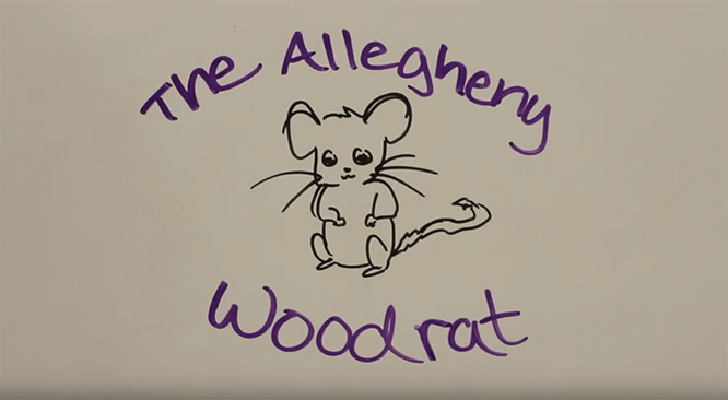drawing of an allegheny woodrat