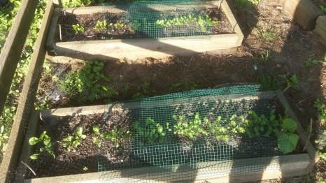Arugula (front) and romaine lettuce