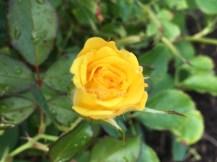 yellow-bud