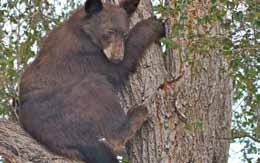 Information Sought on Shot Bear Near River