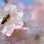 Schwetzingen cherry blossoms garden