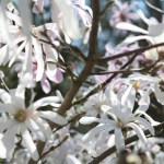 Schwetzingen magnolia