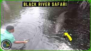 Giant CROCODILES on the BLACK RIVER