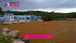 Sargassum Seaweed Invasion Sparks Crisis Meeting at UWI