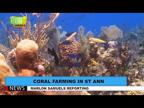 Coral Farming in St Ann