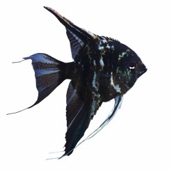 Black Angelfish (Pterophyllum scalare)
