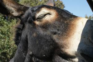 The adorable Cyprus donkey