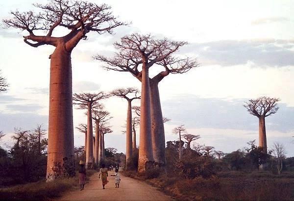 baobab-tsima