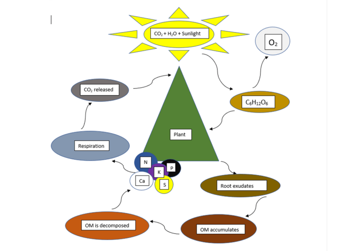 Paint Photosynthesis flow chart