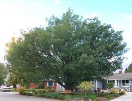 Quercus-robur-092214.jpg
