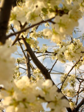 066 'Blossom' - Turkey