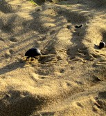 097 'Desert Beetle' - Uzbekistan