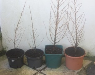 Japanese Larch Starters Jan 2016 18 inches to 2ft