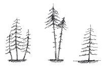 Larch sketches