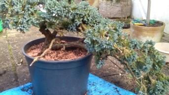 juniper-6-repottedblog