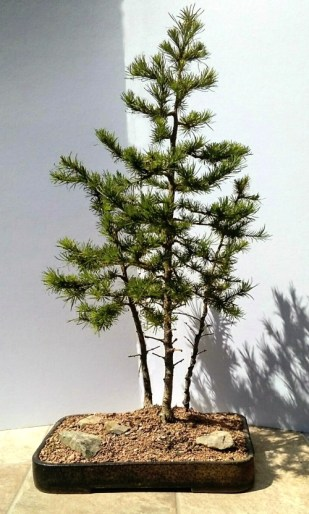 Larch treesome