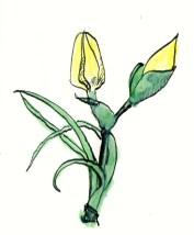 Ornithogalum. They look like tiny tulips.