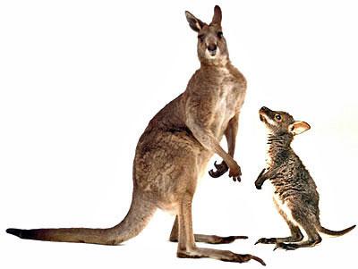 kangaroowallaby-revised