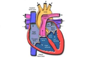 Human-Circulatory-System-Blood