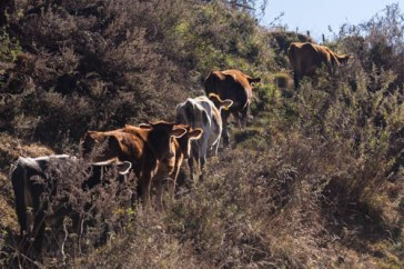 Pictures of Cows Walking Uphill in Bhutan by mcmessner Mary Catherine Messner