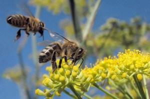 El zumbido de las abejas protege a las plantas de ...