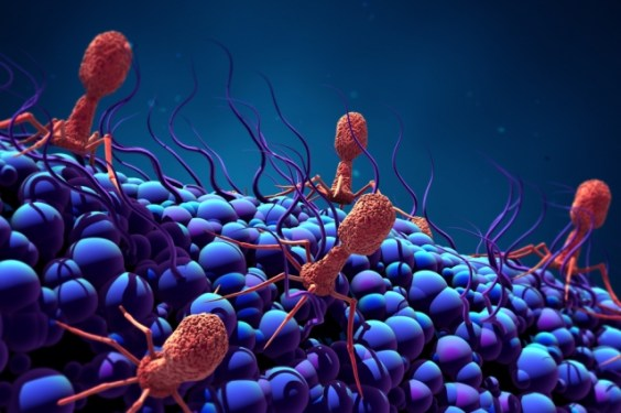 Phages attacking bacteria