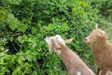 Honeysuckle and goats... goats love it!