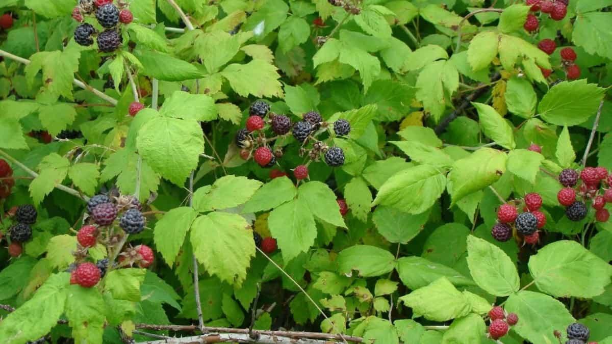 Raspberries (early-late June)