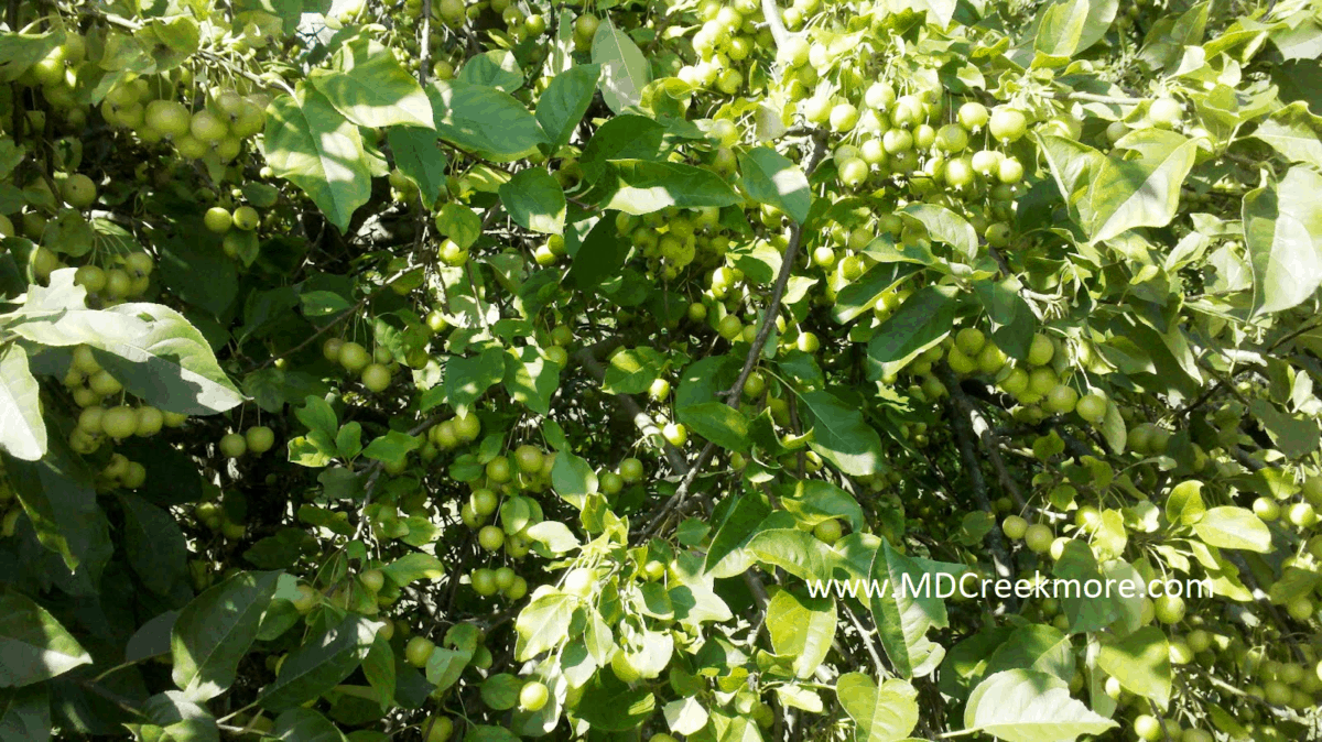 The Crab Apple Tree which began my foraging