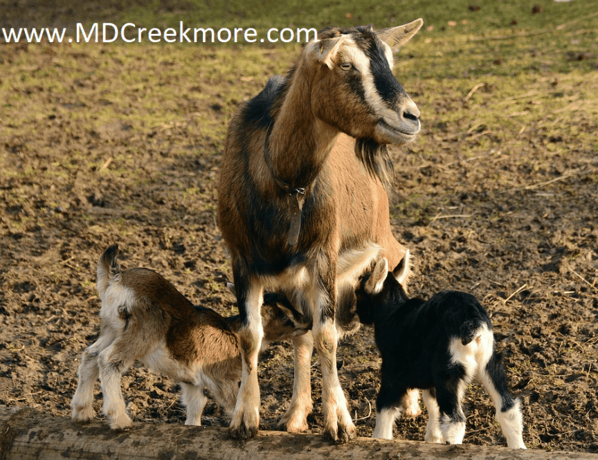 goats-small-homestead