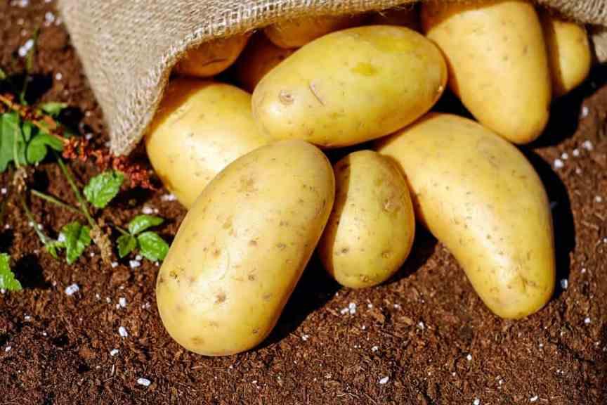 potatoes on a small farm