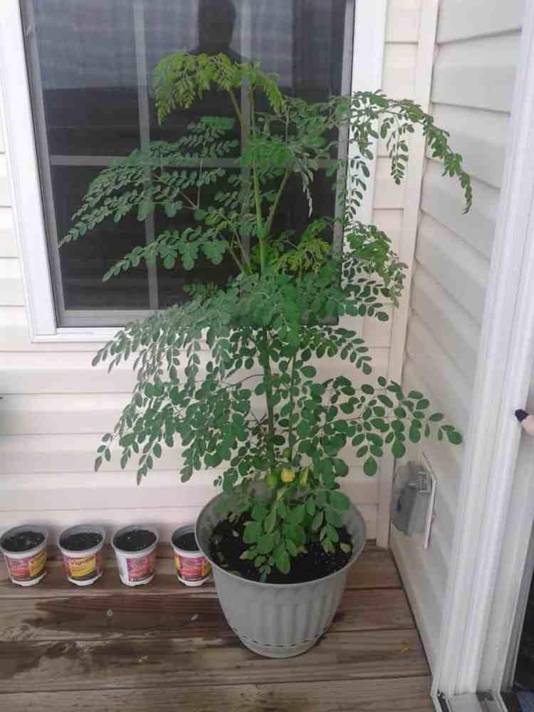 How to Grow a Moringa Tree
