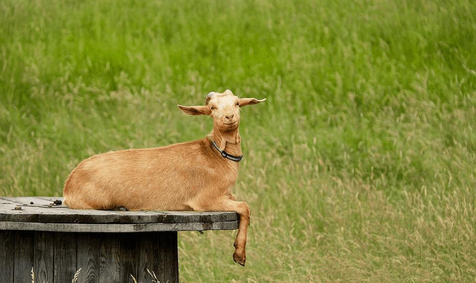 goat-guide