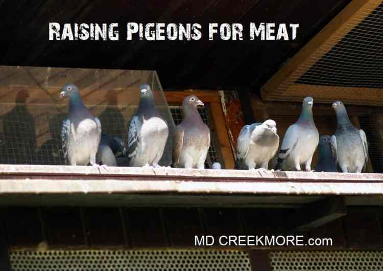 Raising Pigeons for Meat