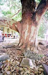 The 114 year-old tree at Toongabbie PS