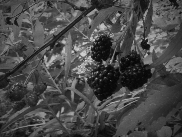 Rimu 'complained' about these berries.