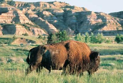 North_Dakota_Bison