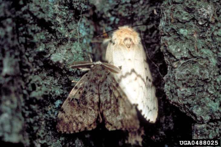 gypsy moth1