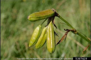 iris pseudacorus seedpod