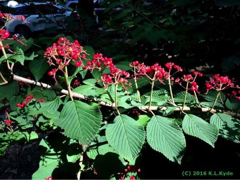 viburnum plicatum f tomentosum