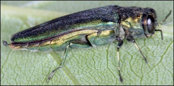 Agrilus planipennis. Photos by David Cappaert, 2006 and Stephen Cresswell, 2012; used with permission.