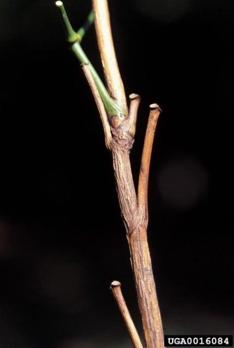 Woody stem. James H. Miller, USDA Forest Service, Bugwood.org